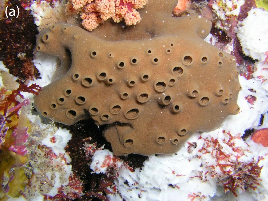 http://sciencythoughts.blogspot.co.uk/2014/07/two-new-species-of-chalinid-dermosponge.html