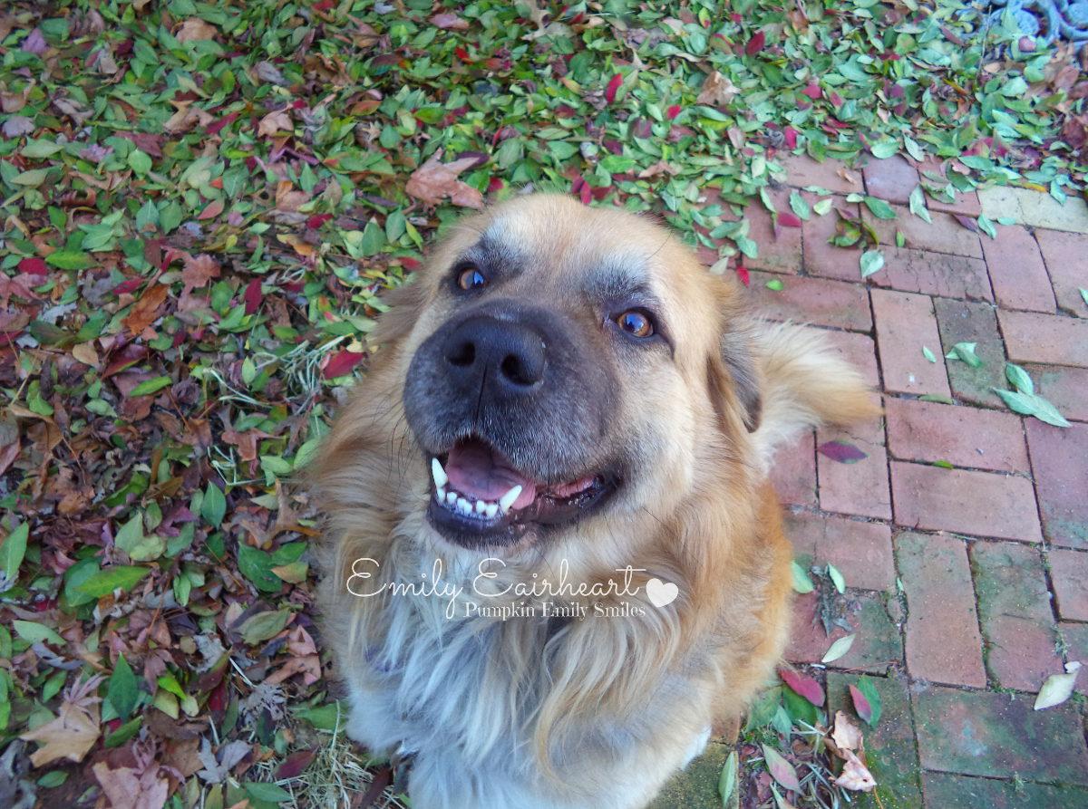 Rocky, German Shepherd and Golden Retriever Mix smiling.