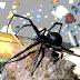 August: Albuquerque's Atramentous Arachnids