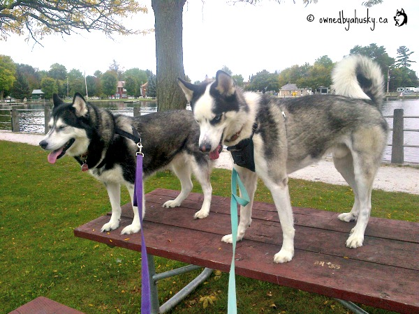 Huskies on tables