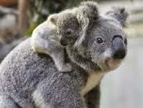 koala bear baby mother's back