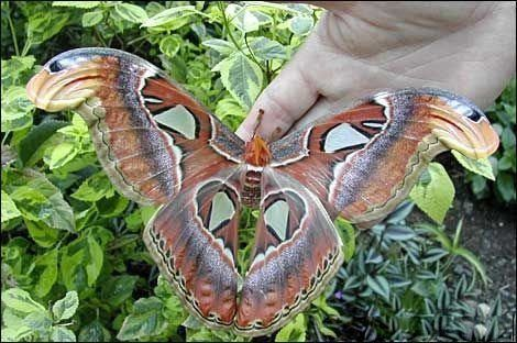 Largest moth in the world - photo#18