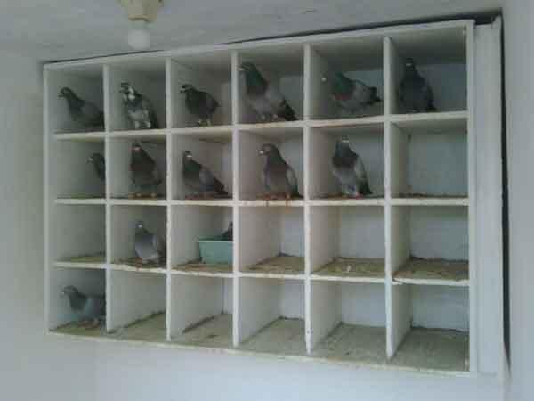 Kebersihan Kandang - cara merawat burung merpati balap