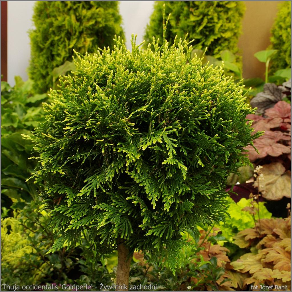 Thuja occidentalis 'Goldperle' - Żywotnik zachodn