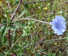 Flor de la achicoria