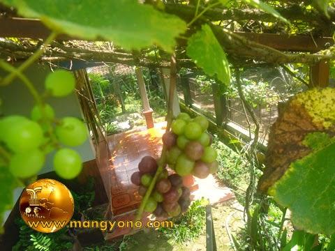 FOTO : Buah anggur belum siap di petik