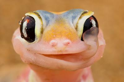 卡哇伊 的 非洲 粉紅壁虎