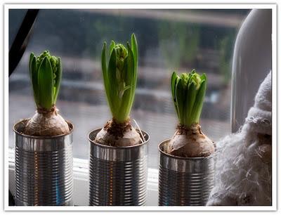 Hyacinter i konservburkar, bild 1