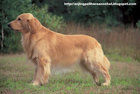 anjing Golden Retrievers, anjing terbaik, anjing peliharaan terbaik