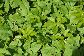 Ground Elder (Aegopodium podagraria) plants