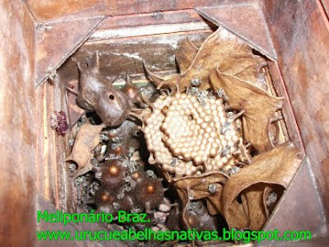 Abelha manduri/Rajada(melípona asilvae),em caixa racional.