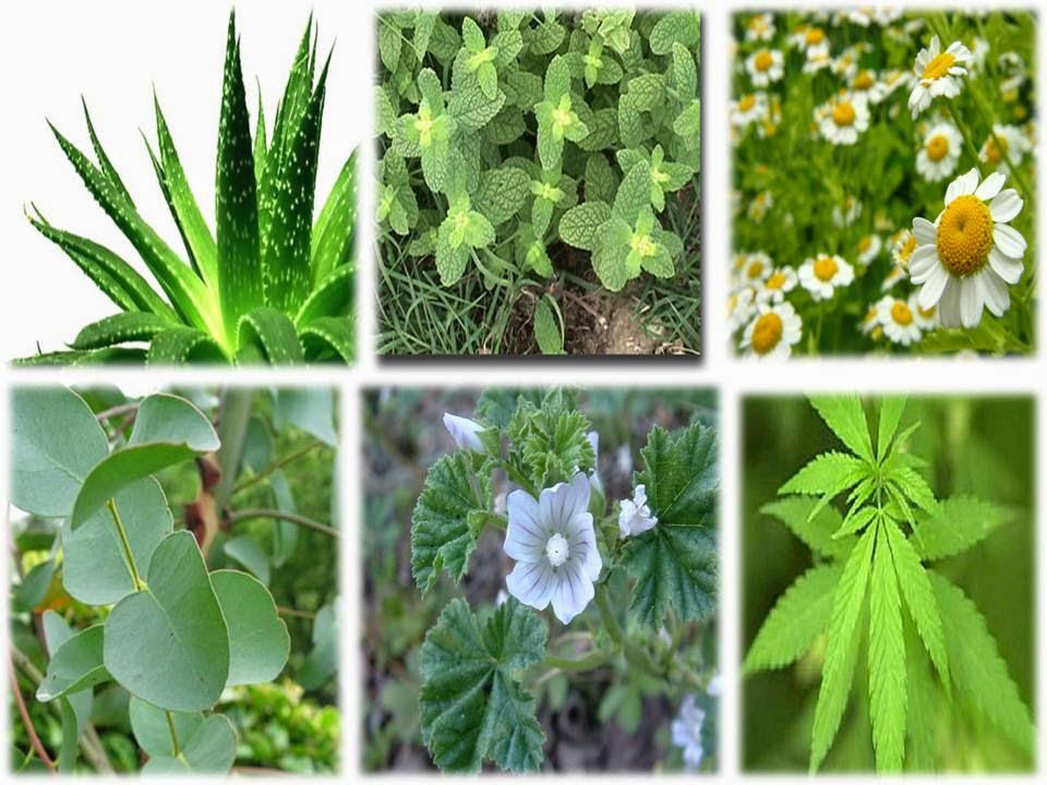 Plantas clases de plantas for Plantas medicinales y ornamentales