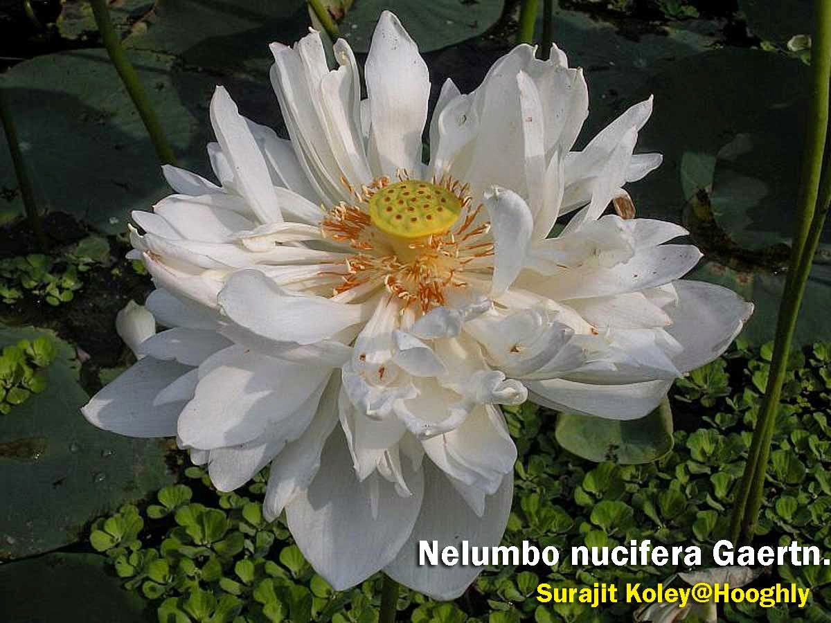 Medicinal Plants Nelumbo Nucifera Lotus Kamal Tamara