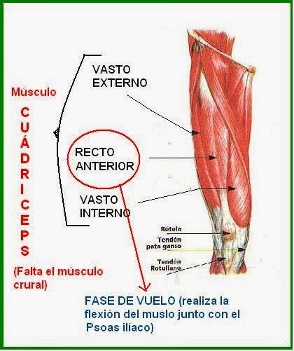 Anatomia Mallorca Universidad Isabel I: IMPORTANCIA DE CUADRICEPS