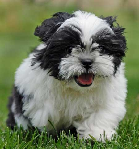 Cute Dogs|Pets: Shih Tzu Pictures - Shih Tzu dogs and Puppies