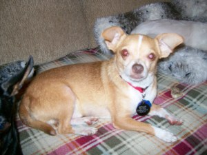 chihuahua senior personals Find pets for sale and adoption, birds, cats, dogs, fish, horses, livestock, pet supplies, rabbits, reptiles, and more on oodle classifieds join millions of people using oodle to find pets.