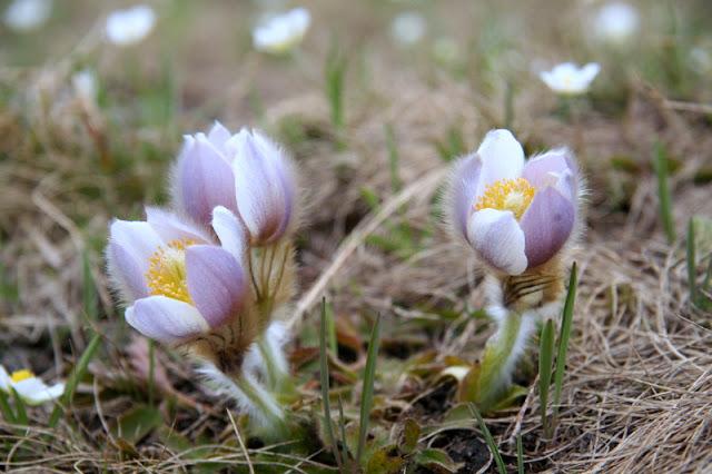 Frühlings-Kuhschelle Valle Maira Ligurische Alpen