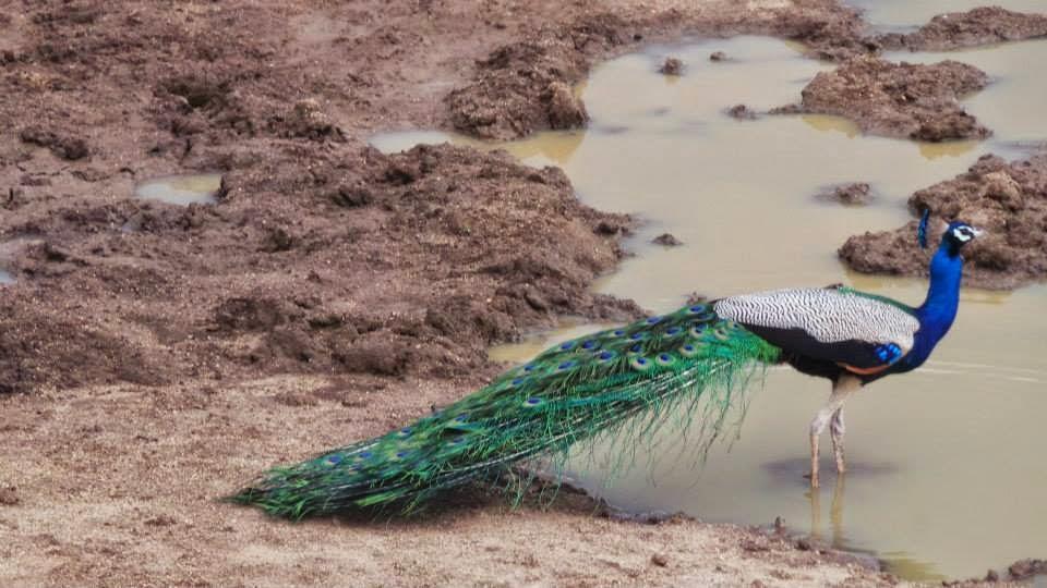 Lanka Peacock