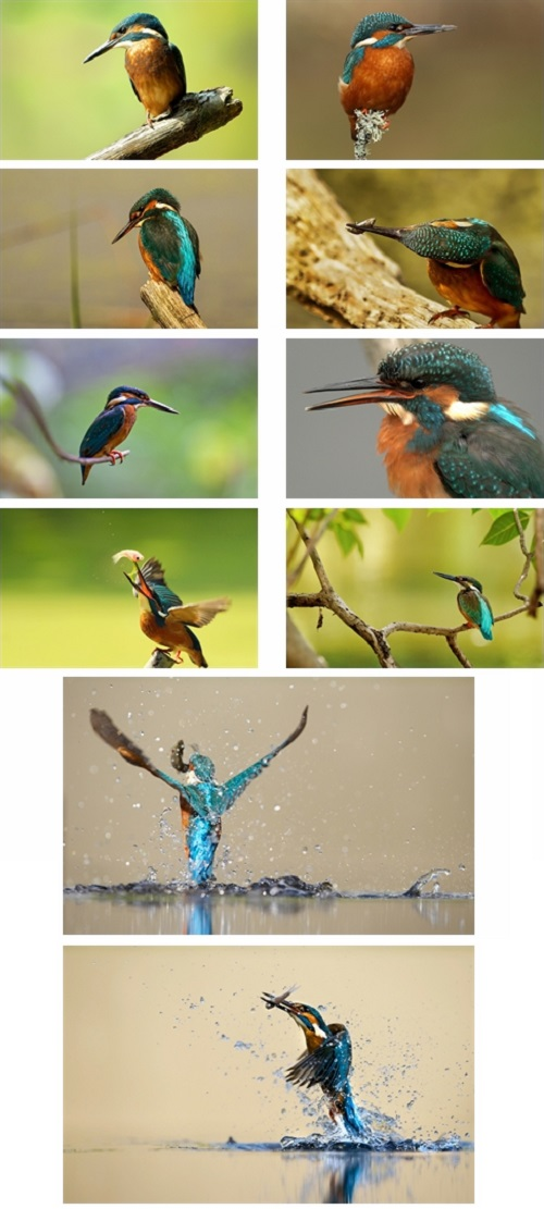 Kingfisher Birds Theme For Windows 7 And 8