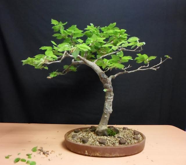 bonsai haya
