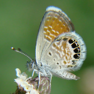 Western pygmy blue butterfly - photo#26