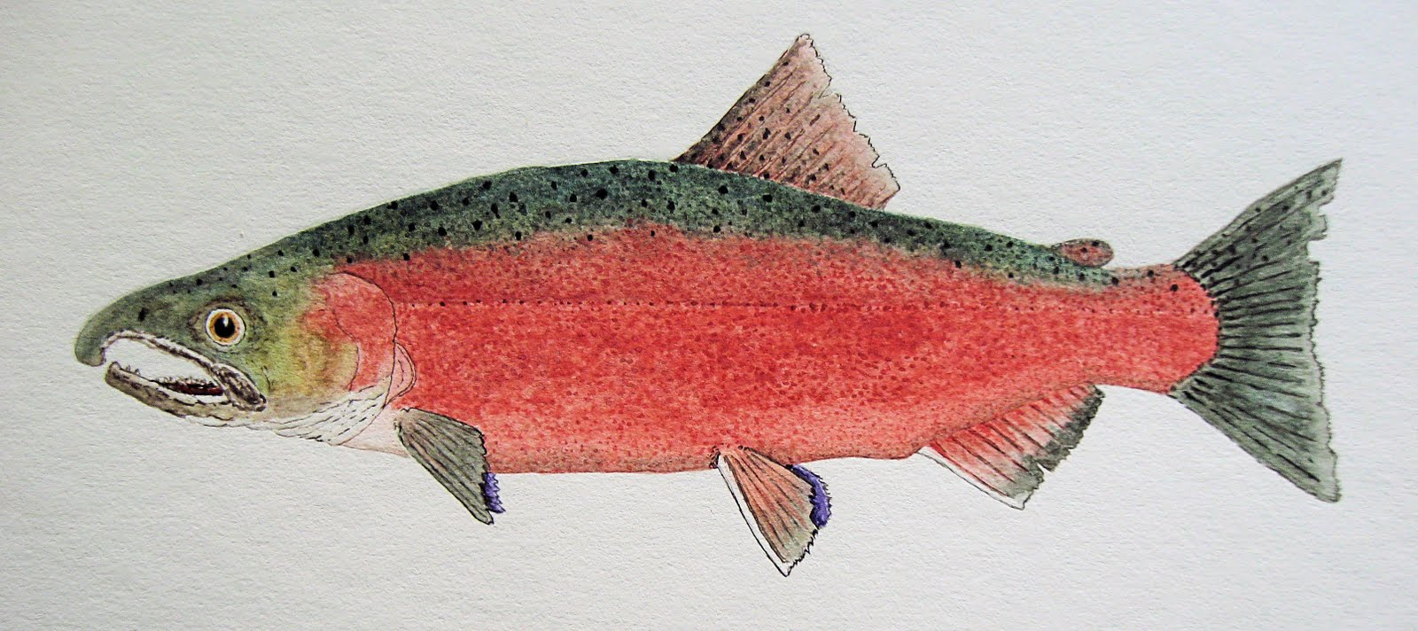 Thom Glace- Watercolor Artist: Freshwater Version of a Male Coho ...