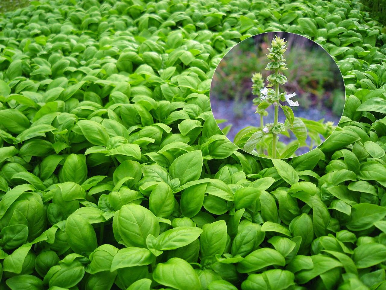 Busuioc - Ocimum basilicum (Lamiaceae)