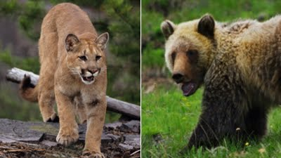 The Crazy Cougar and the Center Bear welcome you to the blog and need a leg or two for dinner