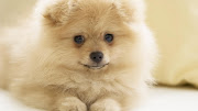 Puppy Sweet Smile Dog Wallpapers Backgrounds