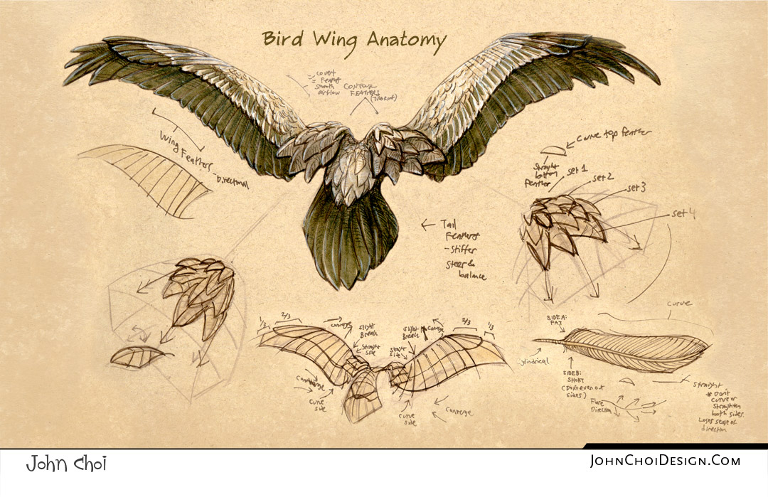 bird wings anatomy - 1080×699