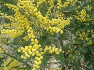 フサアカシア:  プロポリスの起源植物
