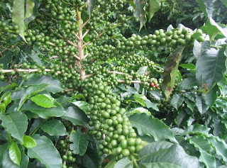 Green Coffee Extract Side Effects