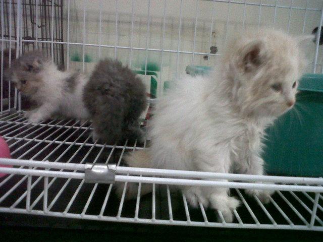 Jual Kucing Persia Kuicng Anggora Kucing Himalaya