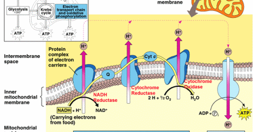 Two Similar Electron Transport Systems Rms Biology Blog