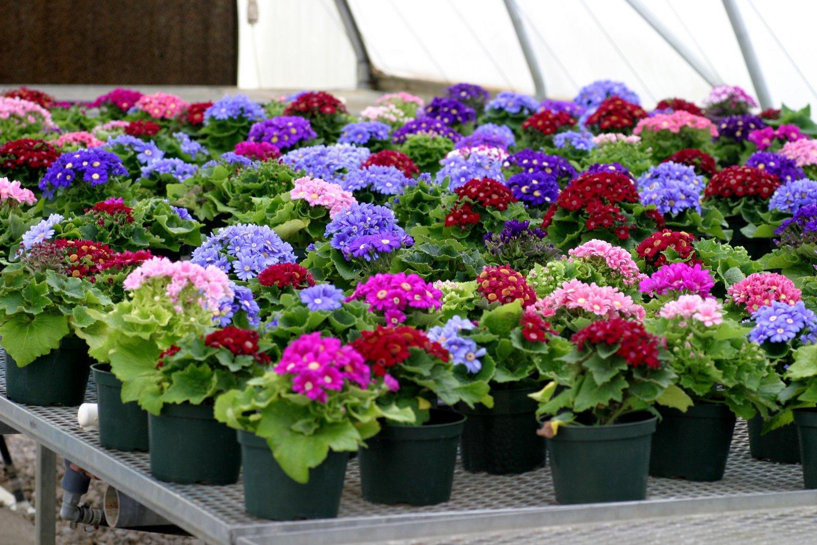 Plantas e flores ciner ria for Plantas en macetas