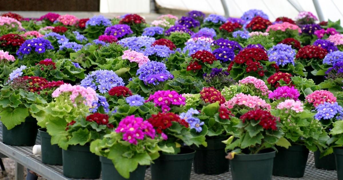 Plantas e flores ciner ria - Flores de sombra ...