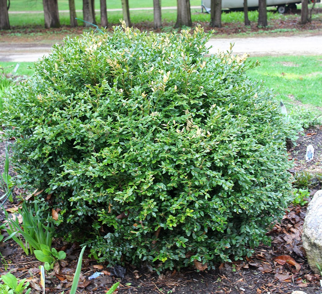 The Impatient Gardener: green velvet boxwood