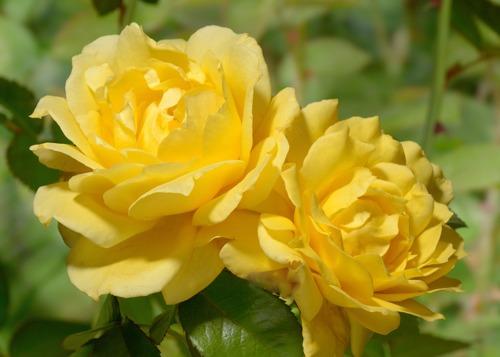 Landora rose сорт розы фото