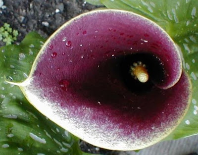 Calla Purple Haze image