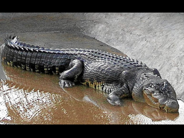"Lolong is officially named ""The World's Largest Crocodile ..."