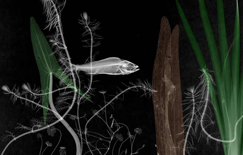 17-Stickleback-Arie-van-t-Riet-Colored-X-ray-Photographs-of-Nature-www-designstack-co