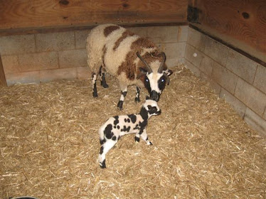 Patchwork Arianna and ewe lamb