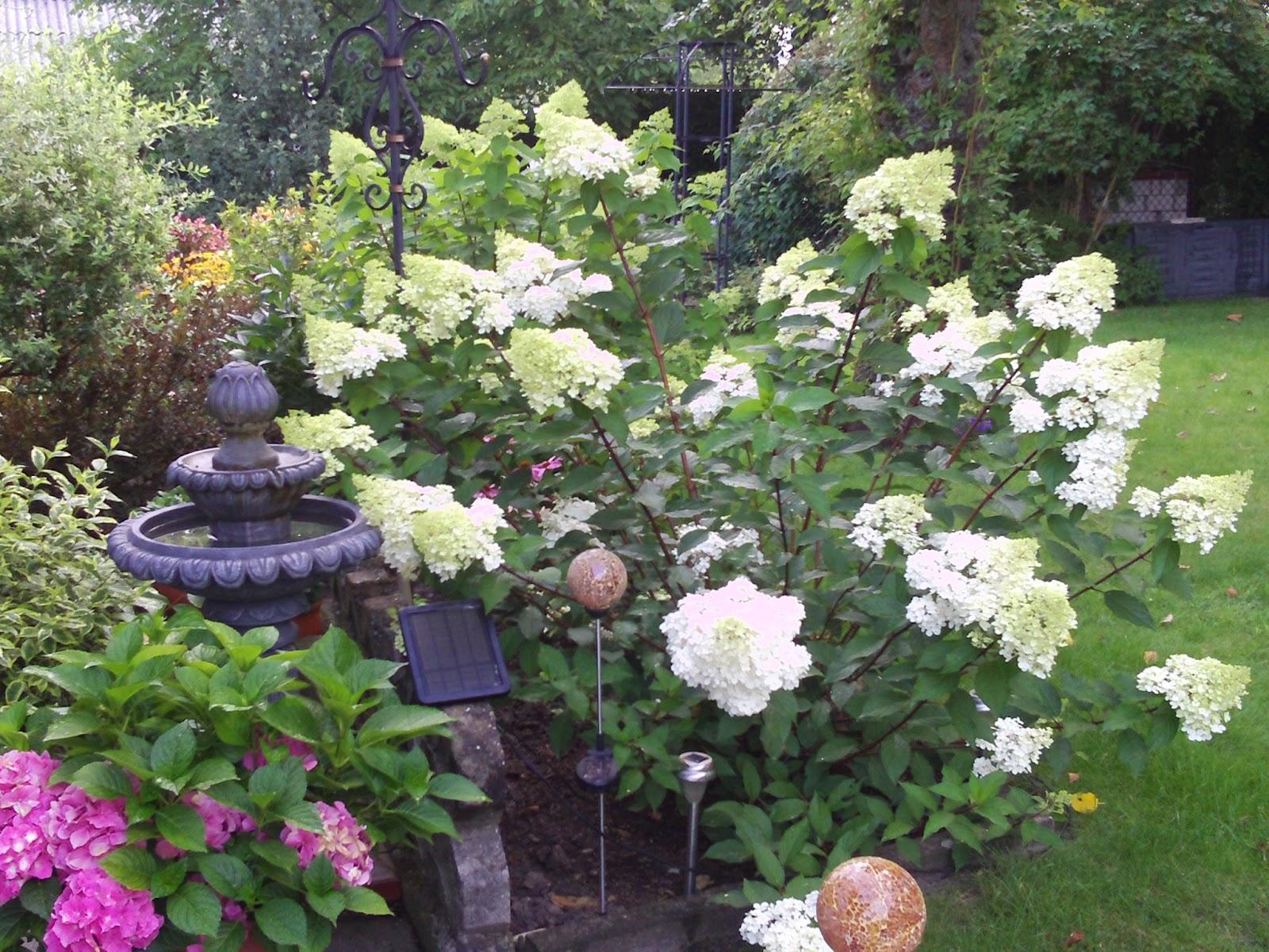 hydrangea paniculata vanille fraise rispenhortensie. Black Bedroom Furniture Sets. Home Design Ideas