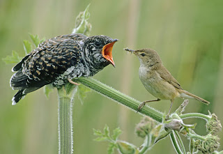 8 Cuckoo Birds 10 of the Weirdest Animal Instincts and Behaviors