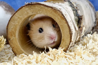 Tips dan Cara Merawat hamster
