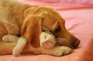 Gato dorme tapado orelha cão