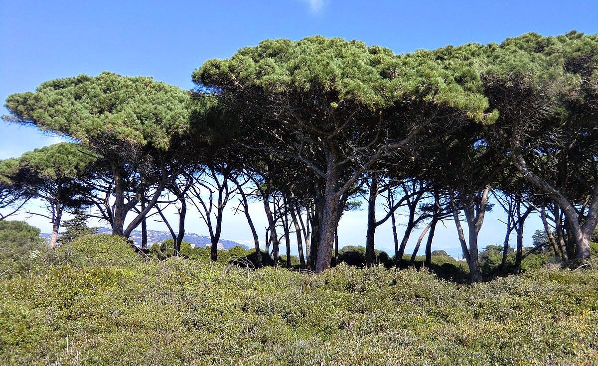 Aleppo pines in Ste-Marguerite