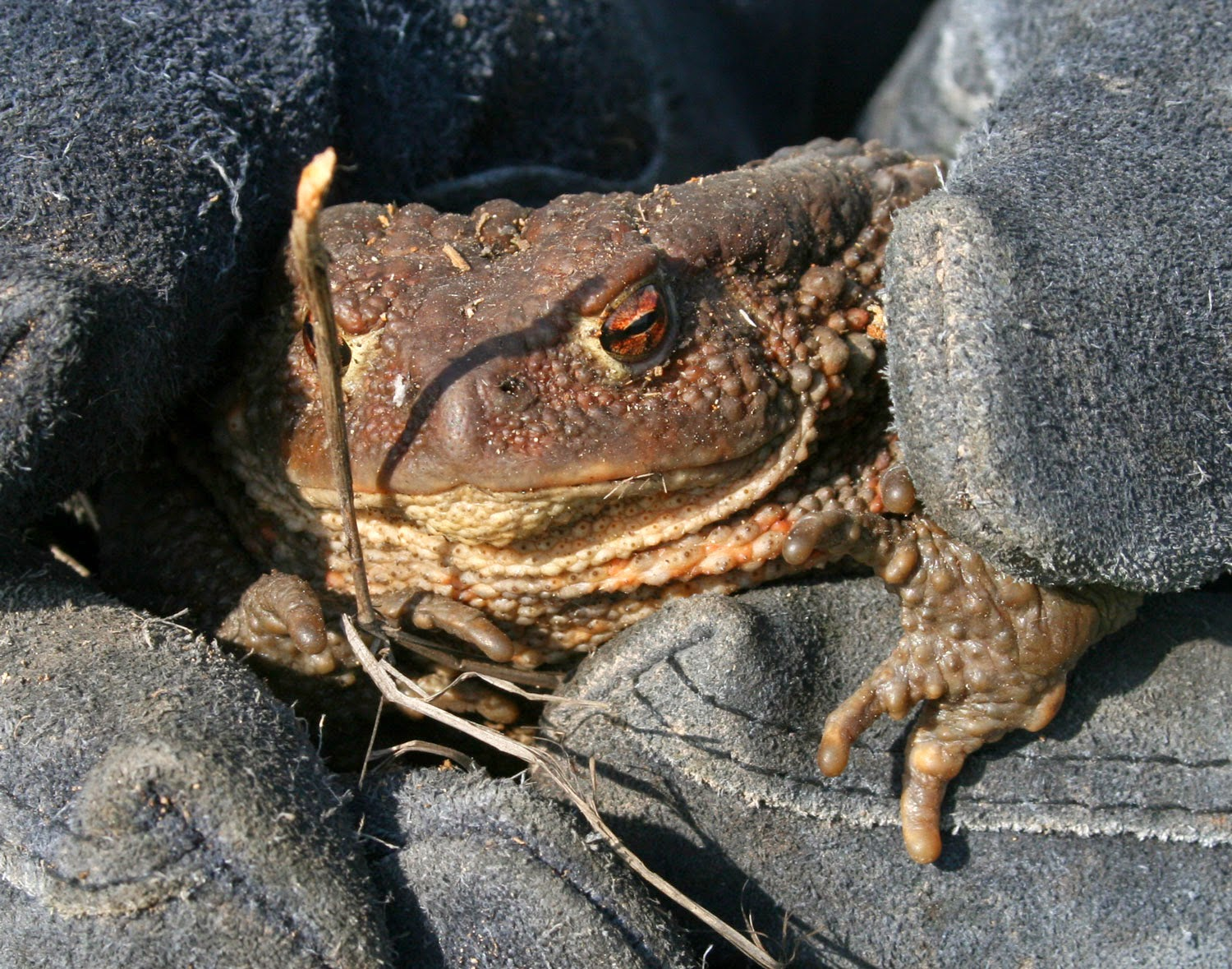 The huge toad we found