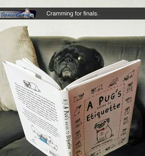 funny cute pug picture