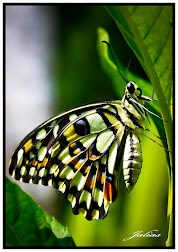 INSECT ( BUTTERFLY )